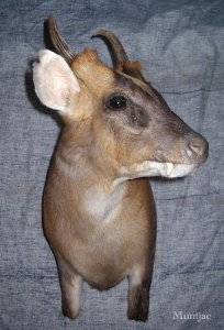 muntjac angleterre