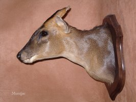 muntjac et taxidermie