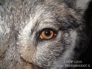 le loup d'Europe (Canis lupus lupus)
