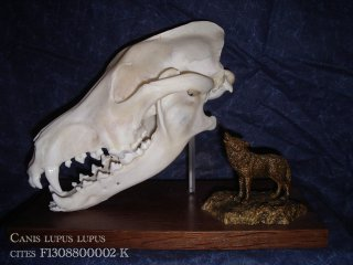 le loup d'Europe (Canis lupus lupus) taxidermie